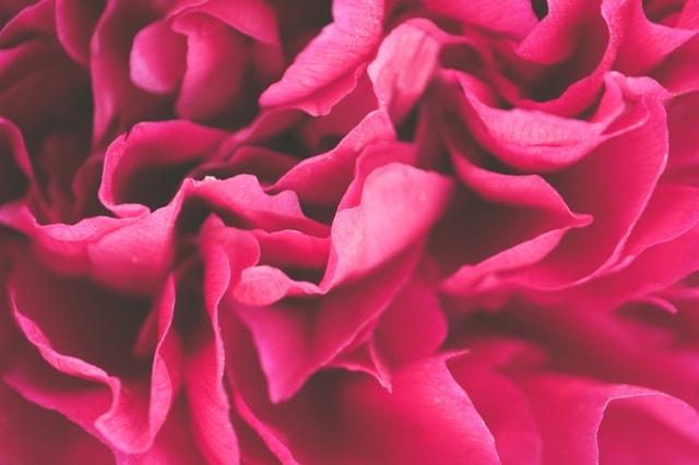 ピンクの花びらの画像
