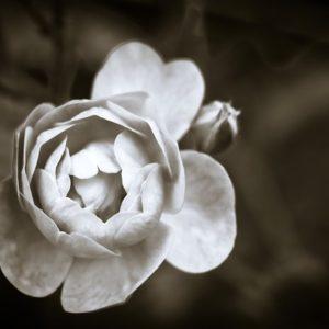 バラの画像